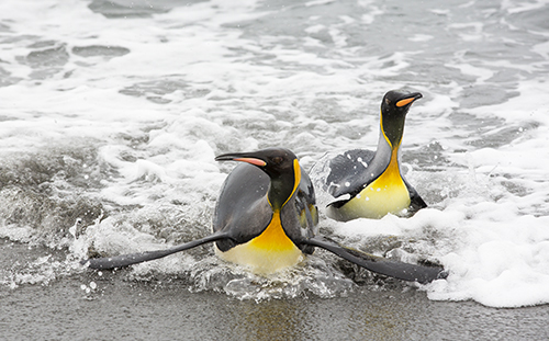 King Penguins emerge from a fishing trip out to see onto the beach in the world's second largest King Penguin colony on Salisbury Plain, South Georgia, Southern Ocean.