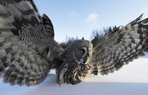 Great Grey Owl (Strix nebulosa) on snow with wings spread. Raahe, Finland, March. © Markus Varesvuo/NaturePL.com