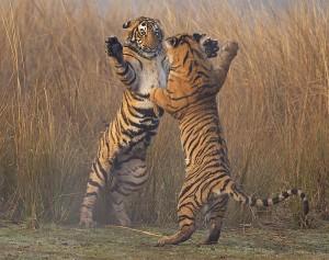Bengal tiger (Panthera tigris tigris) 11 month cubs play fighting, Ranthambhore National Park, India. © Andy Rouse/NaturePL.com