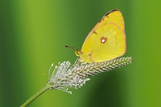 © Malcolm Schuyl - Clouded Yellow Butterfly resting on plantain flower, UK